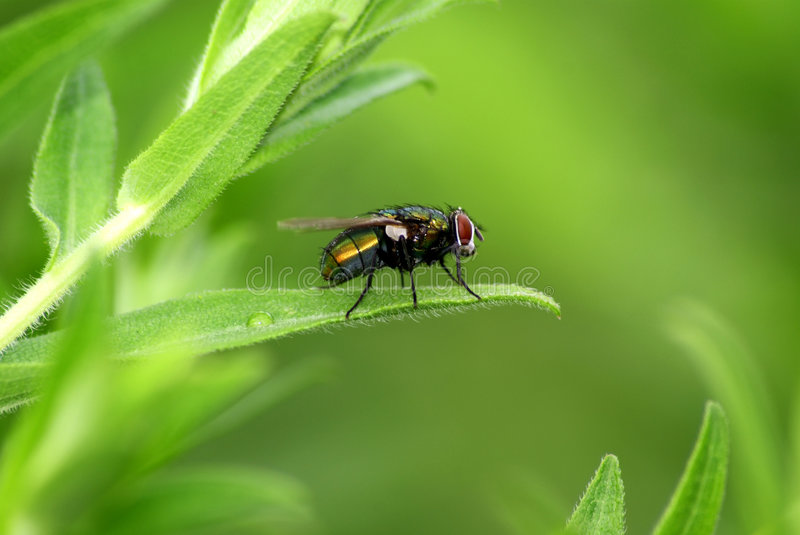 Download Fly on leaf stock image. Image of detail, insects, green - 6029875