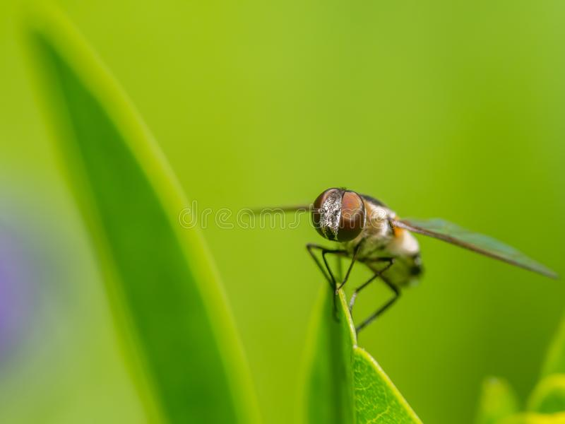 Fly on a leaf - great detail of face and compound eye - on green leaf with smooth blurry green background / bokeh stock image