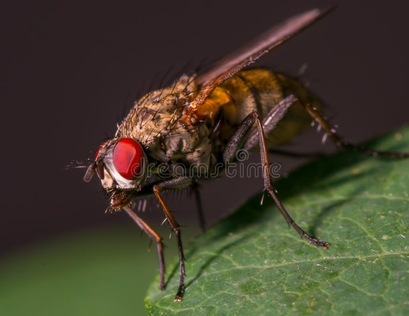 Fly on a leaf - great detail of face, compound eye, and thorax royalty free stock image