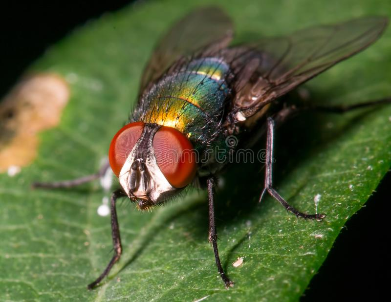 Fly on a leaf - great detail of face and compound eyes stock image
