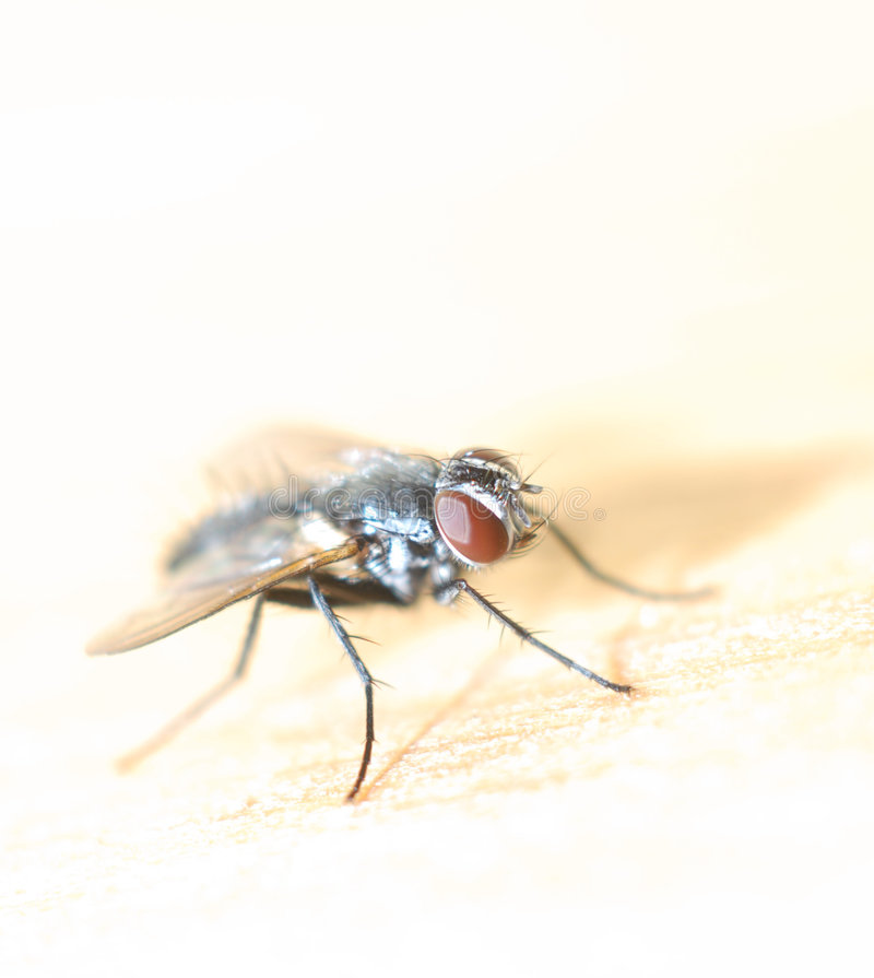 Download Fly in Macro stock image. Image of still, silver, face - 1015155