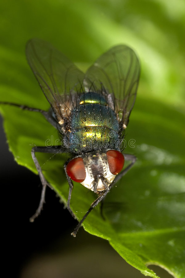 Fly macro on a green leaf royalty free stock photos
