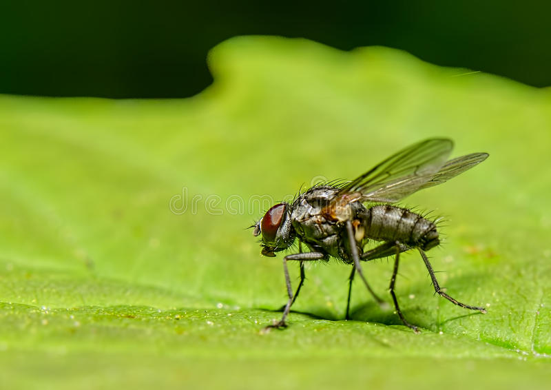 The fly stock photo
