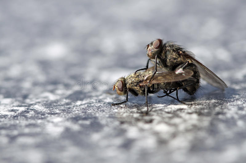 Download Fly Mating stock image. Image of couple, wing, male, black - 23990433