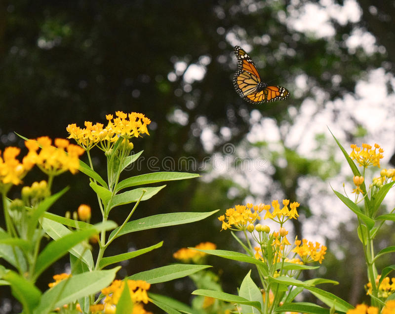 Fly with me. A butterfly at kennedy park in lima, was taken with my nikon 3300 royalty free stock image