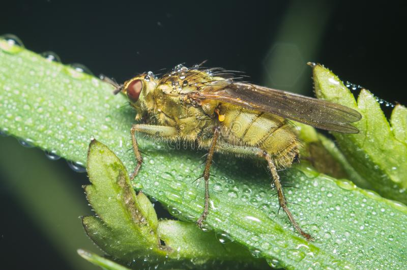A fly in the morning covered with dewdrops close-up stock image