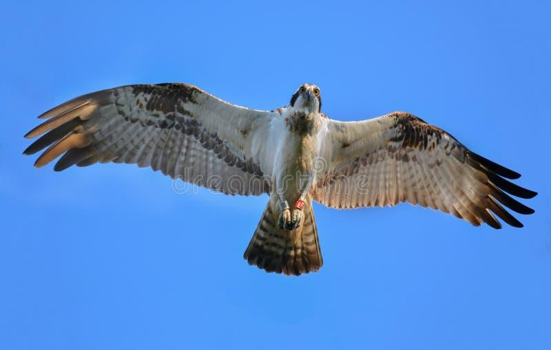 Fly osprey royalty free stock photography