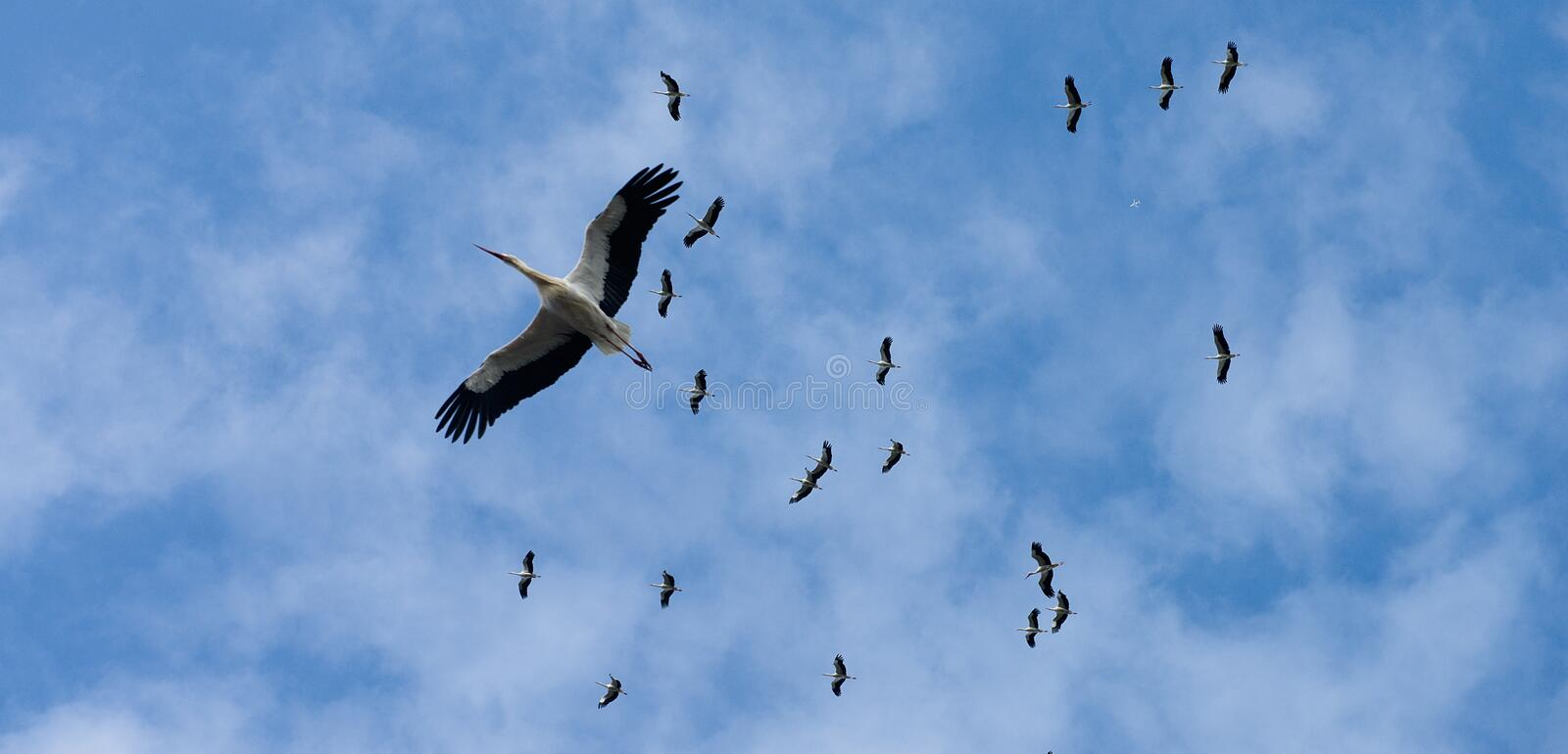 Flying flock of storks in the blue sky royalty free stock image