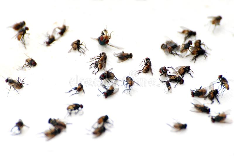 Fly, pile fly, many the bulk of the flies fly dead on white ground, flies are carriers of typhoid tuberculosis selective focus royalty free stock image