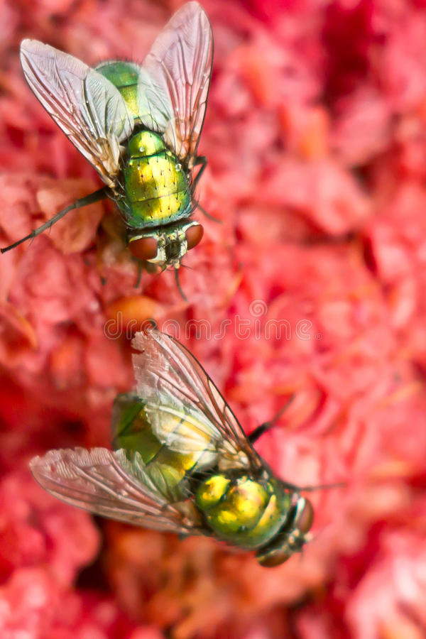 Download Fly on red stock photo. Image of sweet, litter, meat - 26004442
