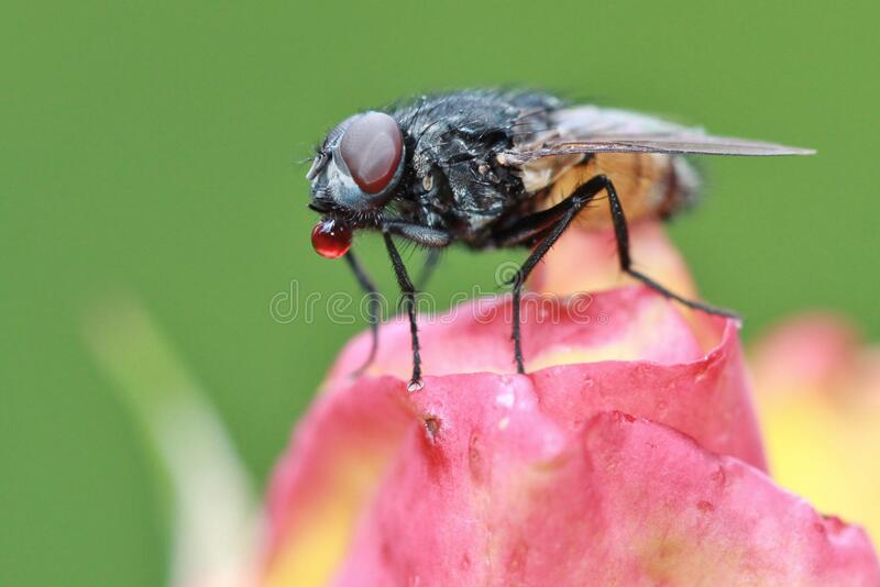 Fly on rose bud royalty free stock photography