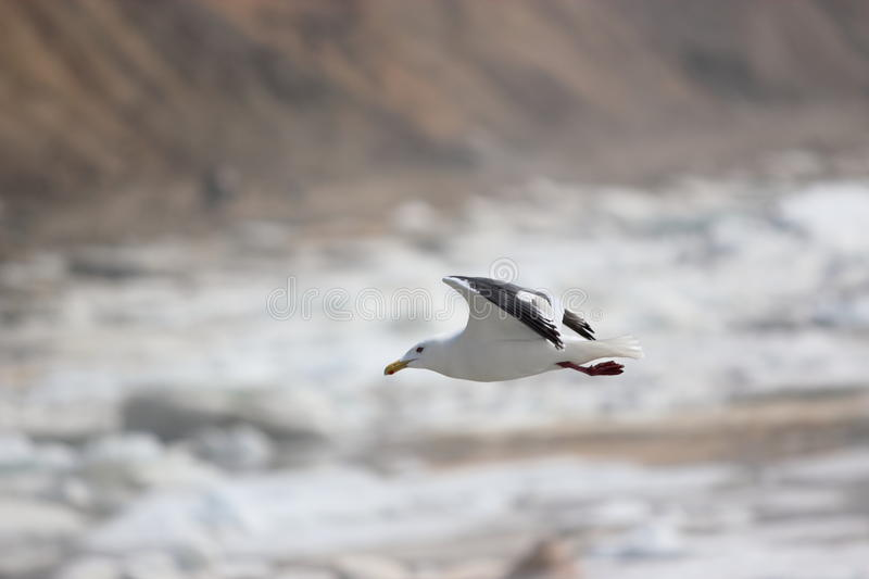 Download Fly seagull stock image. Image of wild, gulls, elegant - 25324987