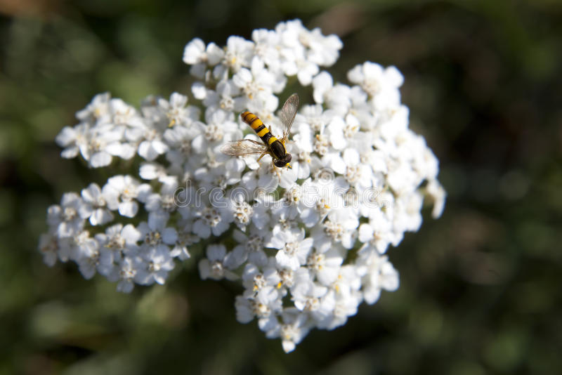 Fly Sits On A Flower Stock Photography