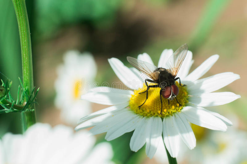 A fly sitting on a flower and collects nectar royalty free stock photo