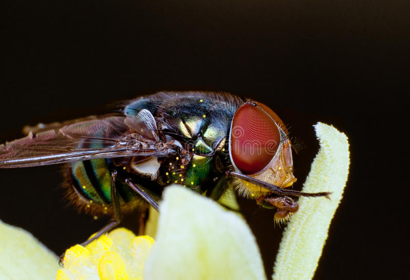 Download Fly sucking pollen stock photo. Image of hungry, insect - 23439800
