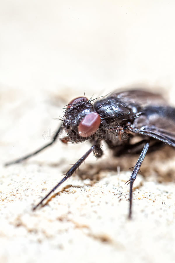 Fly Super Macro royalty free stock images