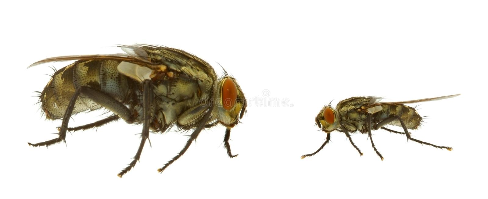 Fly In Two Variants Royalty Free Stock Photos