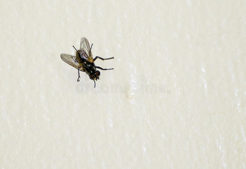 Fly on the Wall. A literal picture of a fly on the wall to represent the idiom of a fly on the wall meaning eavesdrop and observe without people noticing you stock photos