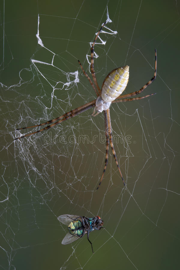Download Fly in the web stock photo. Image of macro, animal, argiope - 15667794