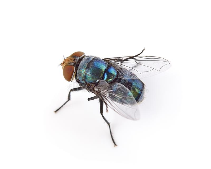 Fly on a white background stock photography