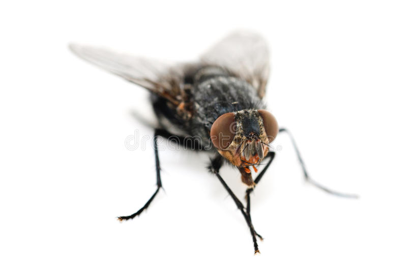 Download Fly On A White Background Stock Photos - Image: 19780243