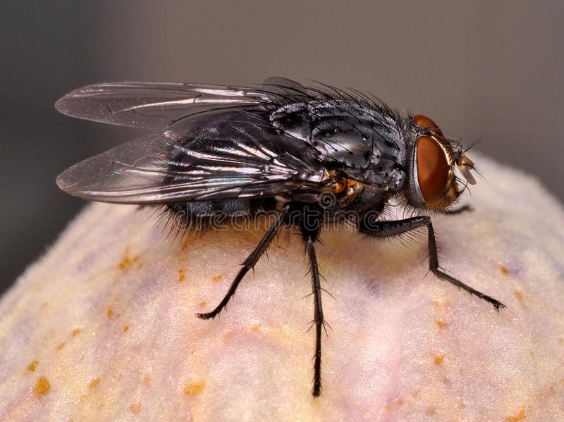 Fly on white flower royalty free stock photo