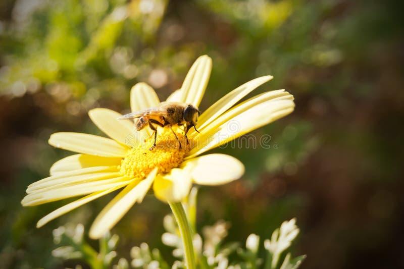 Fly on yellow daisy