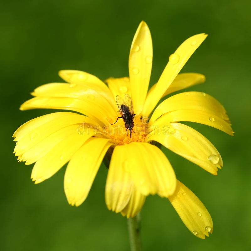Fly on yellow flower. Fly on Yellow calendula flower close-up stock image