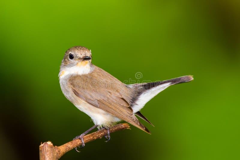 flycatcher το κόκκινο στοκ εικόνες με δικαίωμα ελεύθερης χρήσης