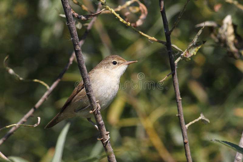 Flycatcher foto de stock