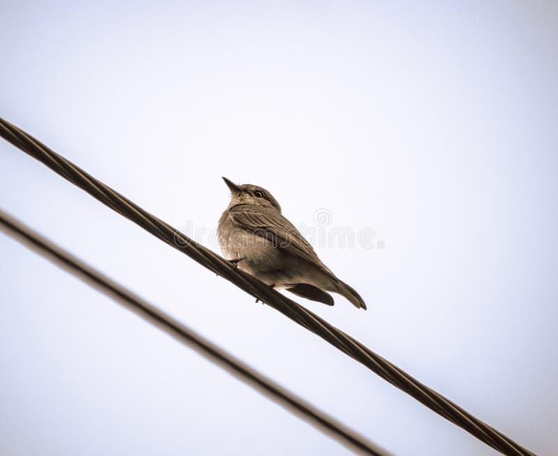 flycatcher photos stock