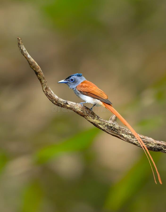 Flycatcher asiático del paraíso imagen de archivo libre de regalías