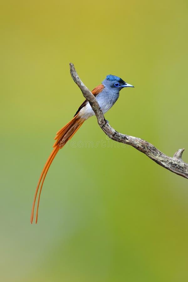 Flycatcher asiático del paraíso imagen de archivo