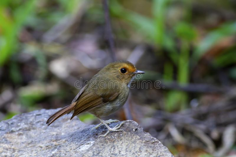 FLYCATCHER bruni Rufous photo libre de droits
