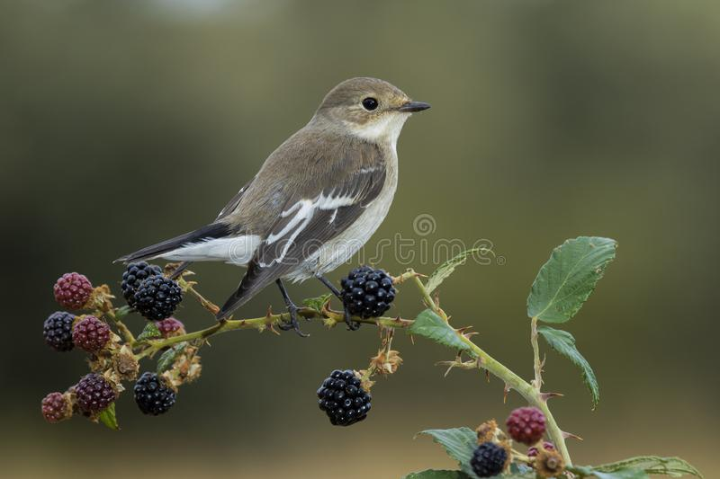 Flycatcher Ficedula hypoleuca perched on its perch with winter plumage. Spain royalty free stock images