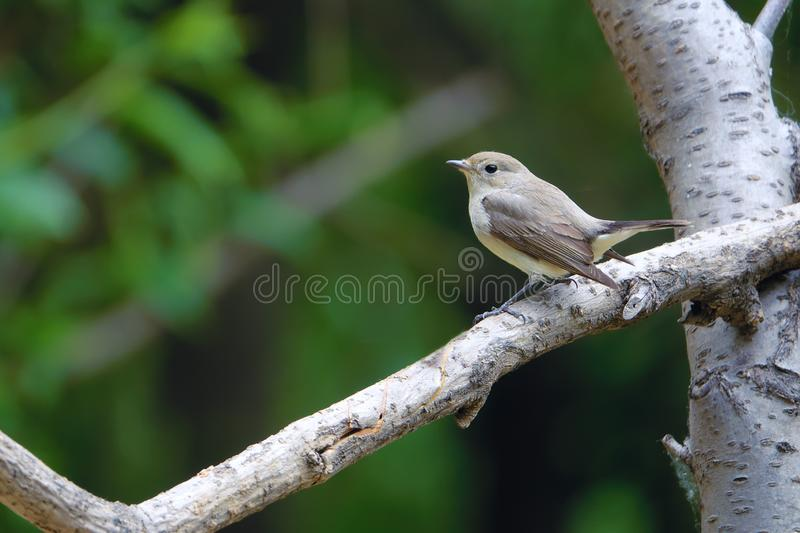 FLYCATCHER ? gorge rouge photographie stock