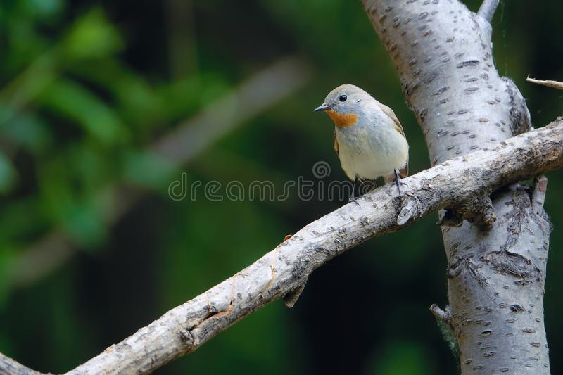 FLYCATCHER ? gorge rouge images stock