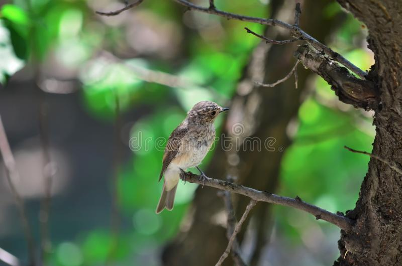 Flycatcher macchiato Corpi striati del Muscicapa fotografia stock