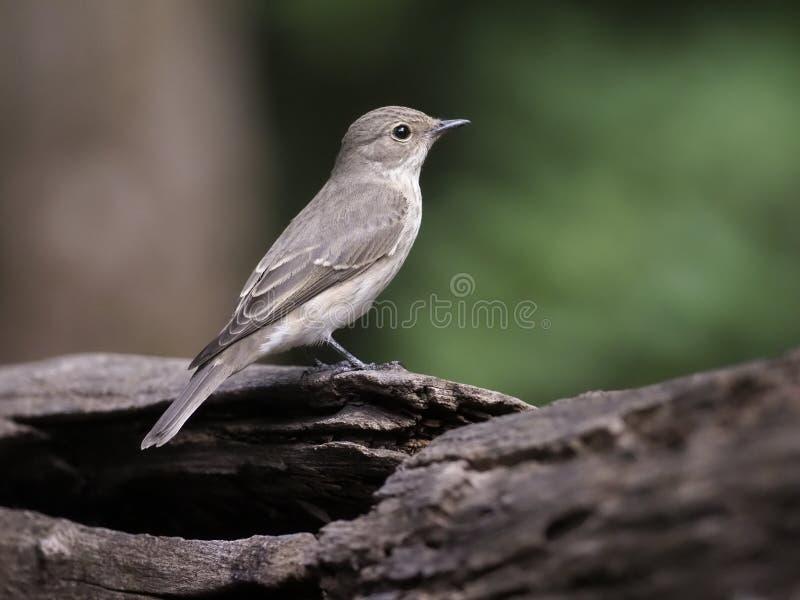 Flycatcher macchiato, striata del Muscicapa fotografia stock libera da diritti