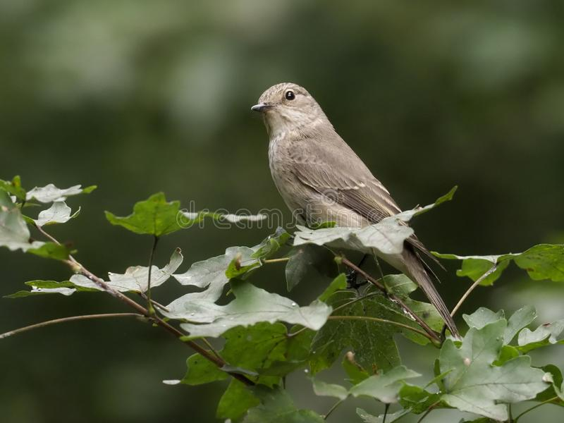 Flycatcher macchiato, striata del Muscicapa immagine stock