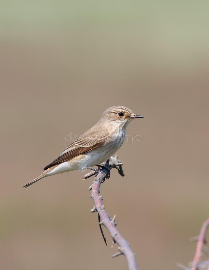 Flycatcher macchiato (striata del muscicapa) immagini stock libere da diritti