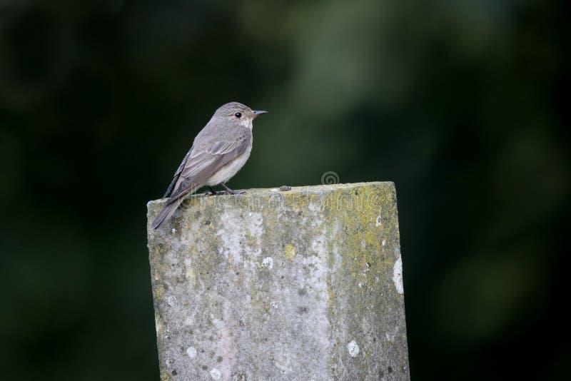 Flycatcher macchiato, striata del Muscicapa immagini stock libere da diritti