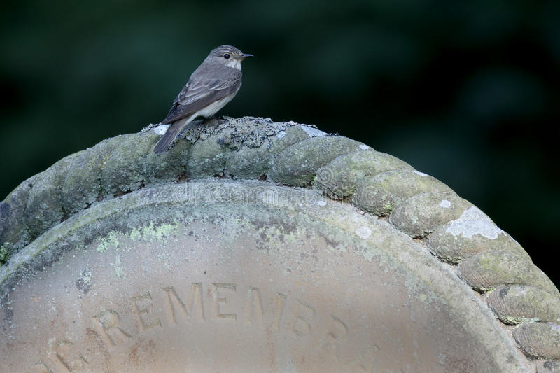 Flycatcher macchiato, striata del Muscicapa fotografie stock