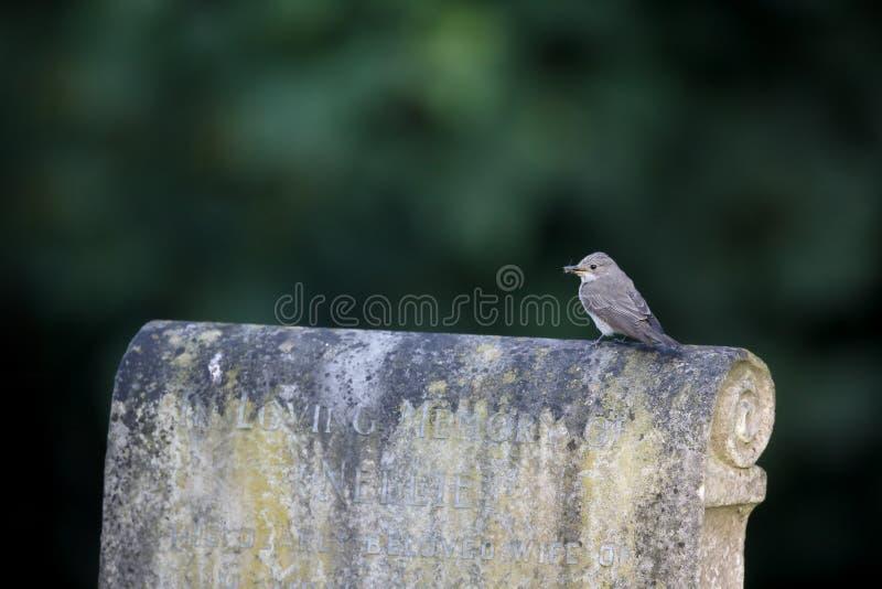 Flycatcher macchiato, striata del Muscicapa fotografia stock