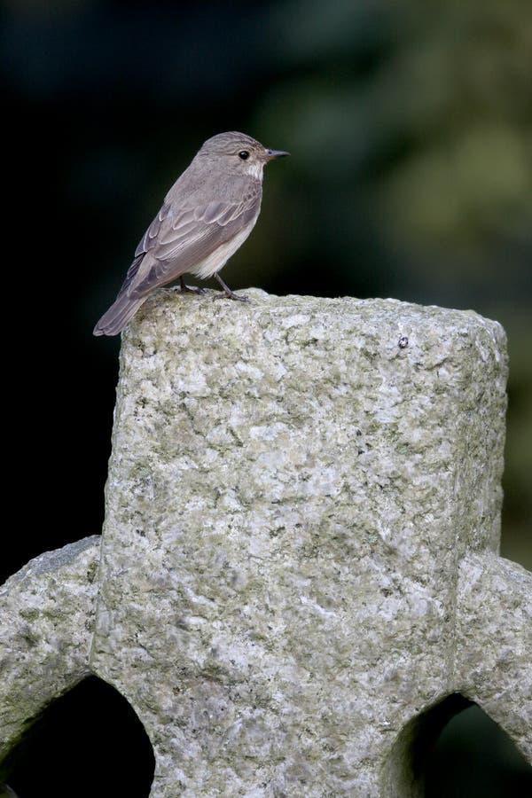Flycatcher macchiato, striata del Muscicapa immagine stock libera da diritti