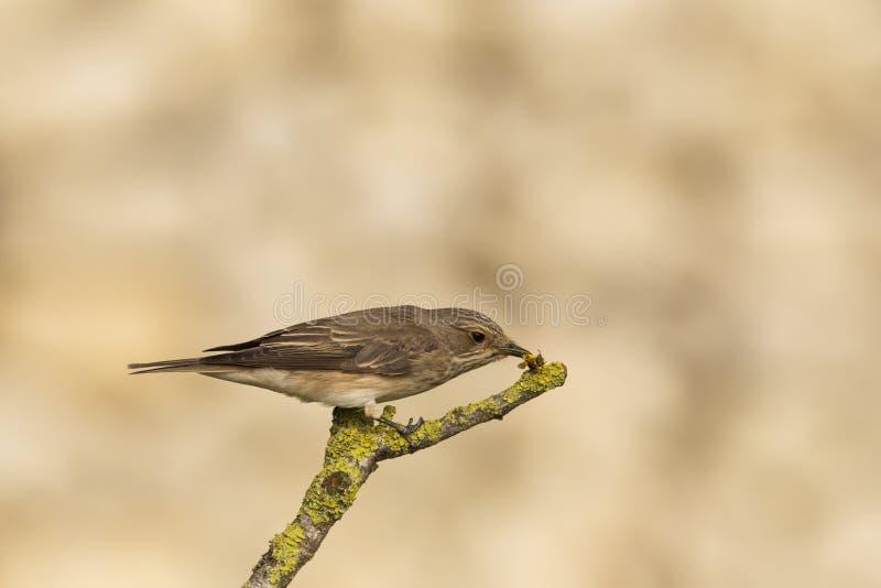 flycatcher muscicapa ?aciasty striata obraz stock