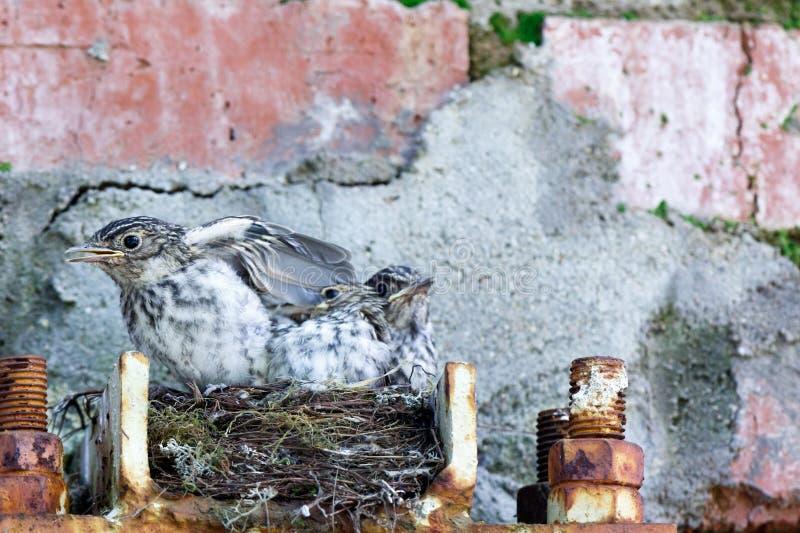 Flycatcher Muscicapa striata stock photos