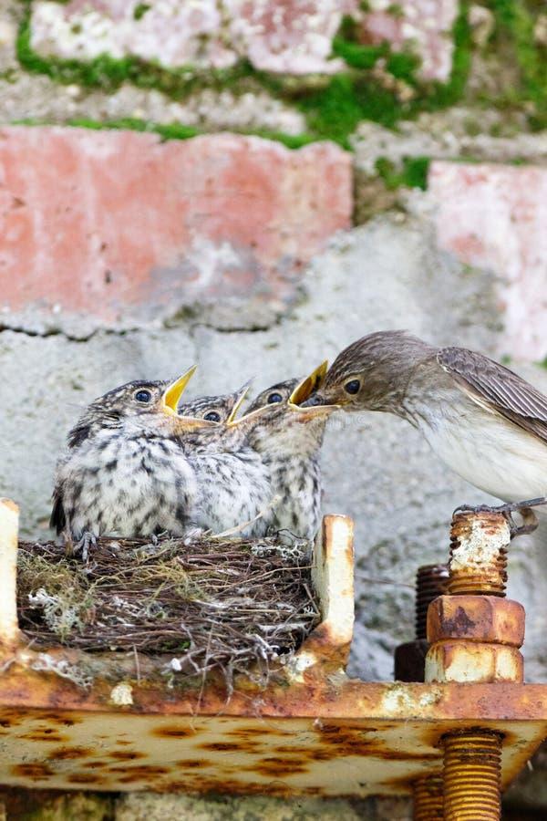 Flycatcher Muscicapa striata stock photo