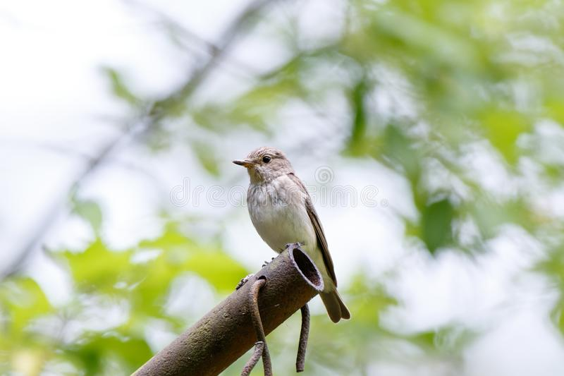 Flycatcher Muscicapa striata stock photography