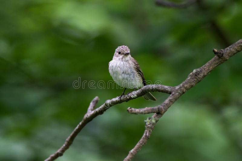 Flycatcher Muscicapa striata royalty free stock image